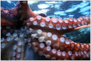 Blue Sticky Octopus