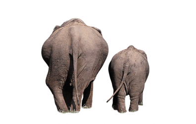 Two elephants backside walking away from the camera